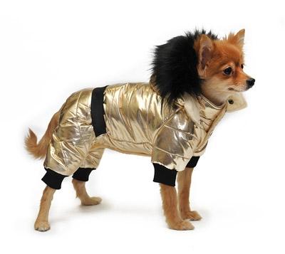 Фото маленькой собаки в золотом комбинезоне